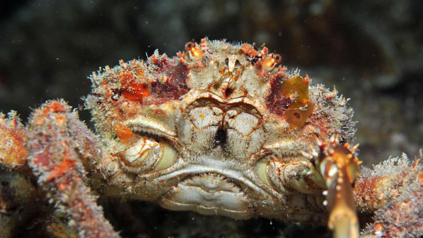 Detalle macro de cangrejo rey