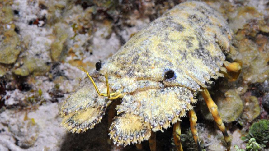 langosta cucaracha de mar en Mahahual