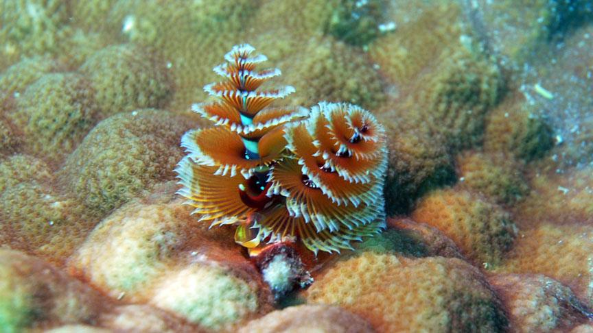 gusano arbol de navidad en Mahahual