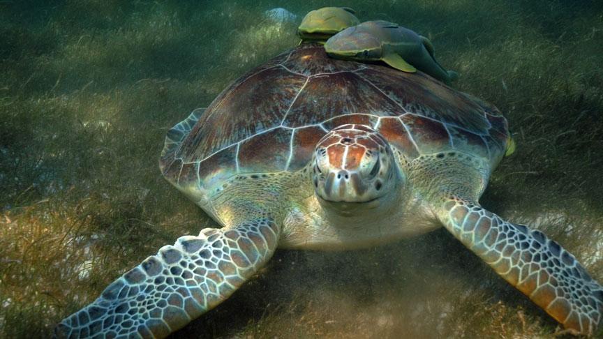 una tortuga carey comiendo pasto en Mahahual