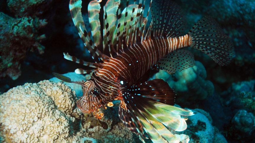 un pez leon en el arrecife