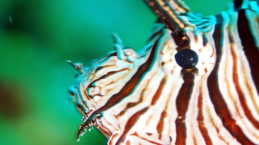 detalle de cara de un pez leon