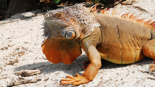 2b-iguana-en-chinchorro