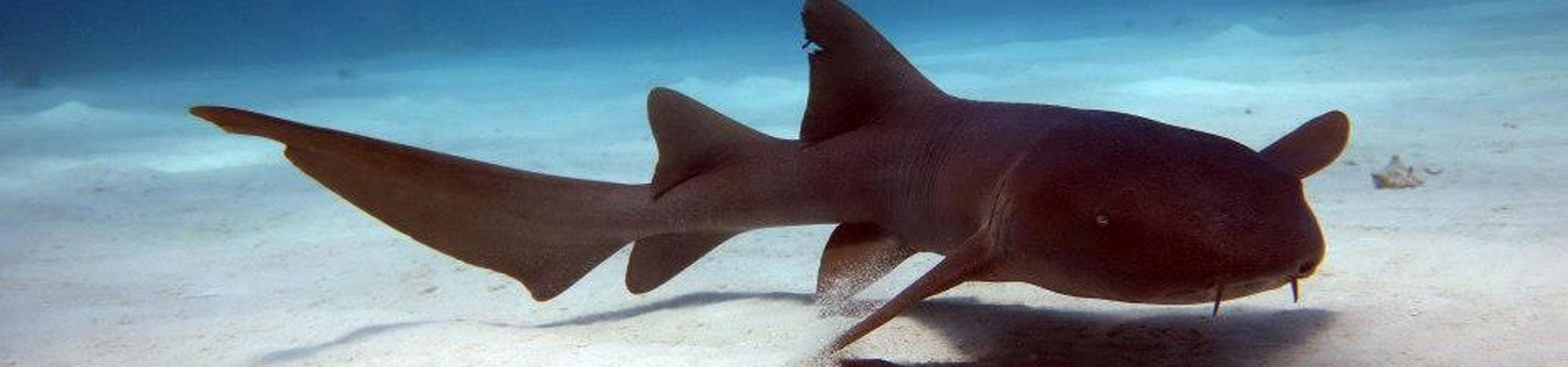 tiburon gata sobre la arena de banco chinchorro