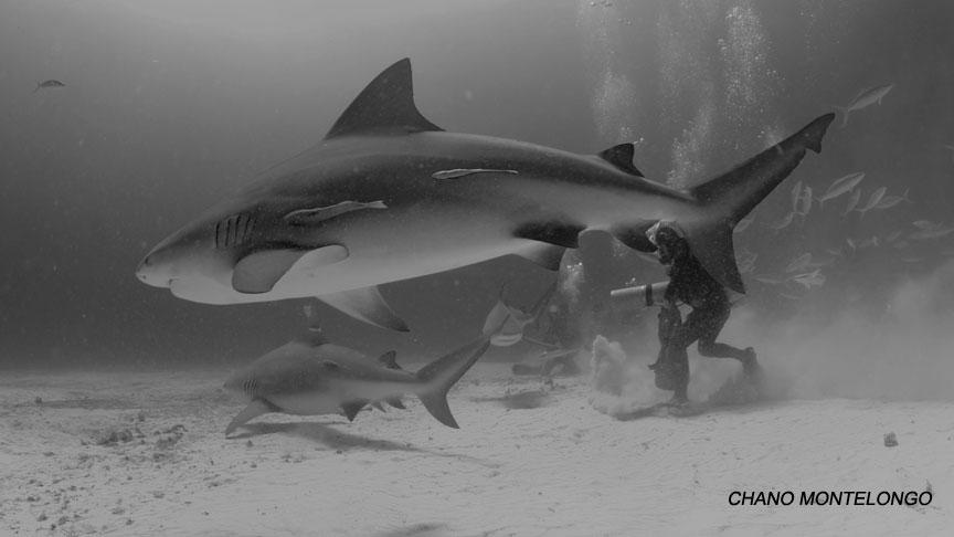 alimentación de tiburon toro en Playa del Carmen