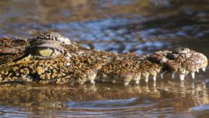 que hacer en Mahahual: cocodrilos